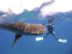 'Adopt a Shark' Programme Continues Due to 'Success'.