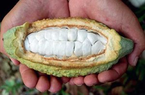 Cacao open fruit2